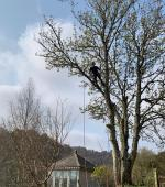Small Sycamore over summer house