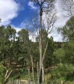 Removal of Dead Alder Tree