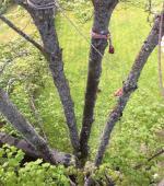 Severely split mature Maple