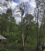 Removal of Dead Alder Tree