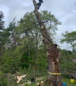 Severely split mature Maple